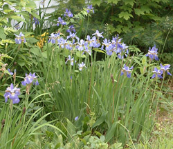 [Picture of flowers (Purple Iris)]